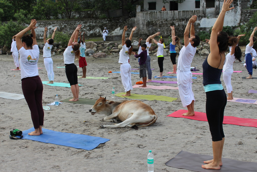 Cow at yoga day celebration
